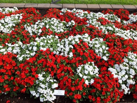 Red and White Flowers for Petrolia in Bloom 2021 Theme